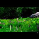 Glacial Boulder in a Lupine Field Poster by Wayne King