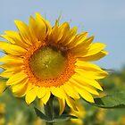 Gorgeous Sunflower by Hope Ledebur