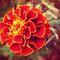 *A Beautiful Marigold challenge - Enchanted Flowers*