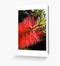 Red Bottlebrush Greeting Card