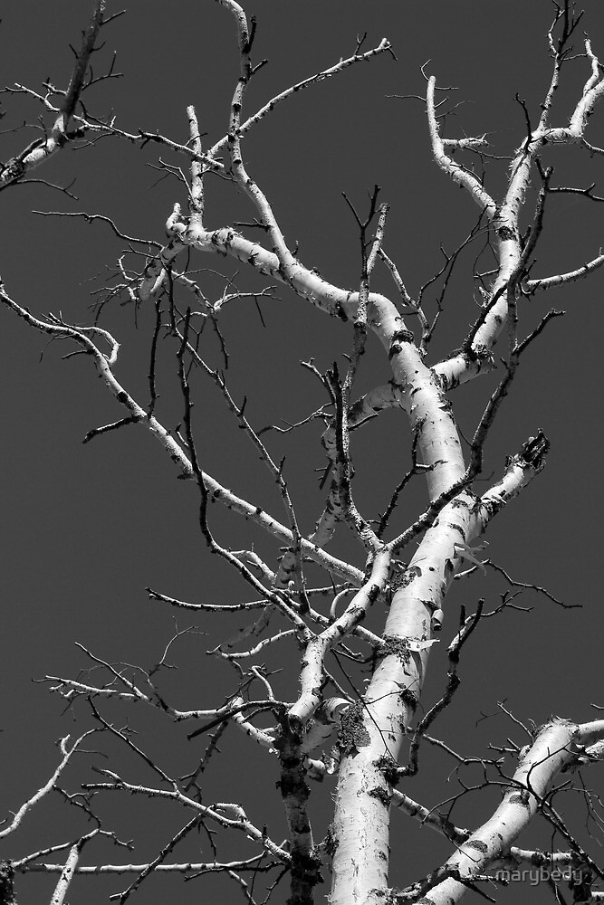Dead Birch 2 Black and White by marybedy