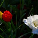 Tulips, Floriade, Canberra, Australian Capital Territory, 2013 by Graham Schofield
