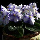 Violetta! by Doug Norkum
