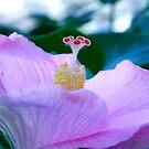 Hibiscus by mooksool