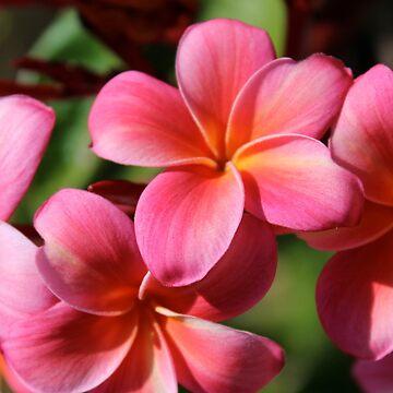 Pink Plumeria by Dee2west