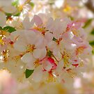 Spring Blossoms 7 by Alison Hill