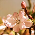Spring Blossoms 9 - antique by Alison Hill