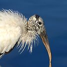 Endangered Woodstork by Kathy Baccari