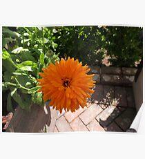 Orange Pot Marigold - Heligan Poster