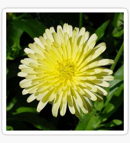 Pale Yellow Mary Bud Marigold With Garden Background Sticker