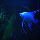 Platinum Angelfish (XL Poster) by Chris Porteous