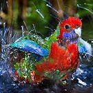 Bathing Rosella 2 by DaveBassett