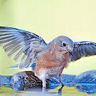 Bathing Bluebird by Bonnie T.  Barry