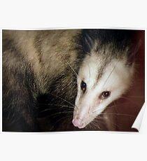 Opossum, Sweet Possum Poster