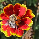 Bee and Flower by VJSheldon