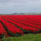 tulip time again in Tasmania 2013  #36 by gaylene
