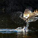Osprey  483 by John Van-Den-Broeke