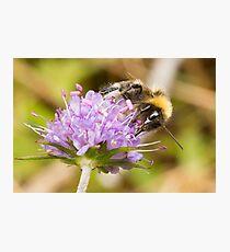 Bumble Bee on Devil's-bit Scabious Photographic Print