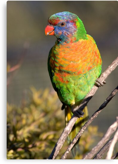 Rainbow lorikeet by Steven Ralser