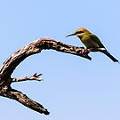 Rainbow Bee-Eater, Bibra Lake Reserve, W.A. by Sandra Chung