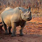Black Rhinoceros by Paul Tait