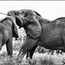 JUST HAVING FUN! THE AFRICAN ELEPHANT – Loxodonta Africana - AFRIKA OLIFANT by Magriet Meintjes