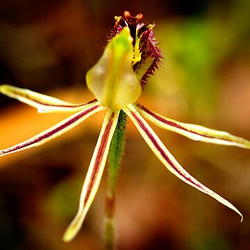 Dragon Orchid by AmyesPhotograph