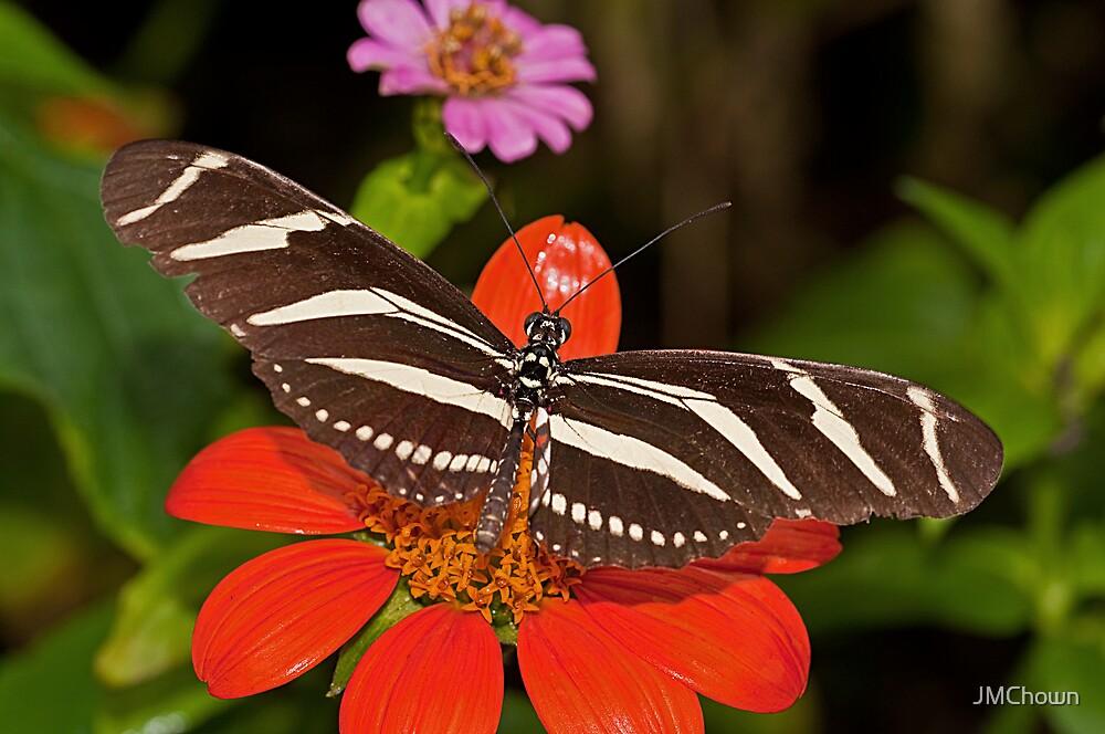 Zebra Longwing Butterfly by JMChown