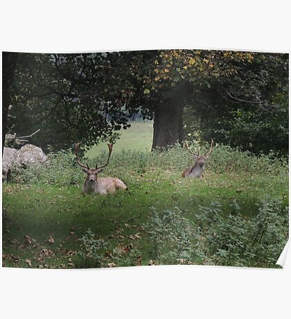Two Stags (Dinefwr Deer Park) Poster