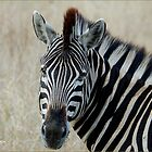 IN PORTRAIT THE BURCHELL'S ZEBRA – Equus burchelli – Bontkwagga by Magriet Meintjes