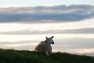 Inquisitive sheep on Skye by Richard Flint