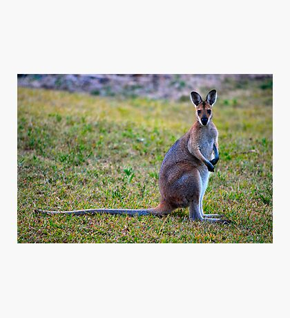 Wallaby Watching Photographic Print