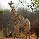Giraffe by Paul Tait