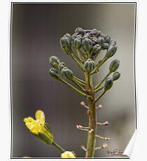 Broccoli Flower Pods Poster
