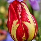 Tulip bokeh by mooksool