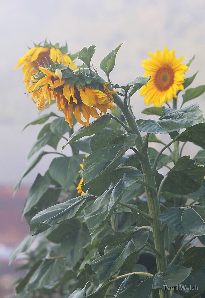 Sunflowers In Morning Fog by TerrillWelch