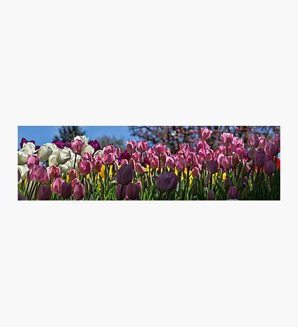 Tulip Row Photographic Print