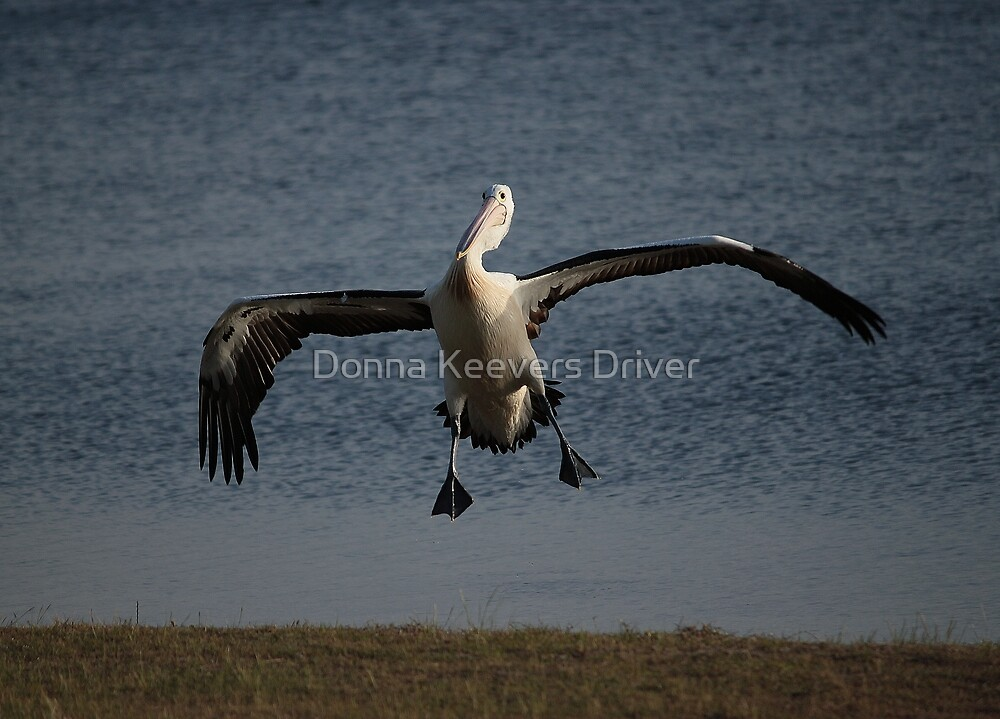 Coming in for a landing... by Donna Keevers Driver