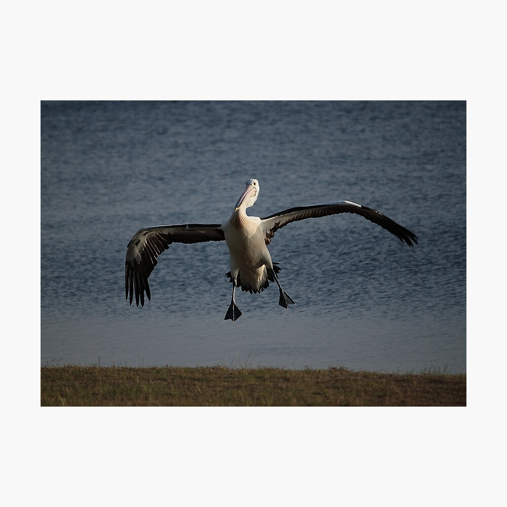 Coming in for a landing... Photographic Print