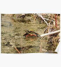 Algae Covered Painted Turtle Poster