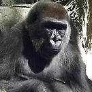 Gorilla, Bronx Zoo, Bronx, New York  by lenspiro