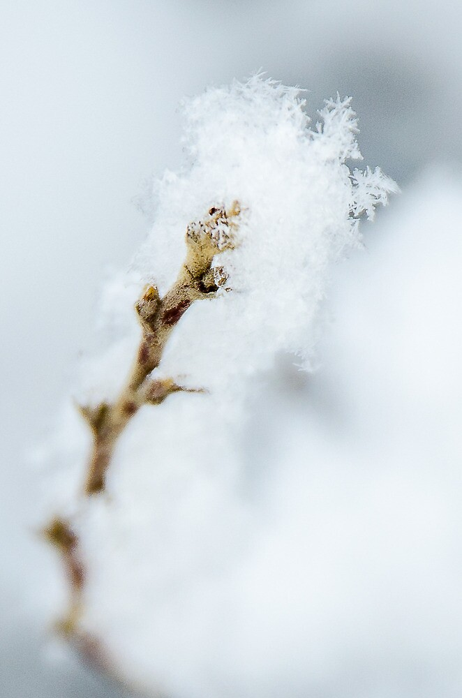 Snowflakes on a Twig by Photopa