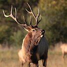Bugling Bull Elk  by naturalnomad
