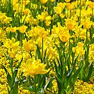 Floriade in Yellow by Alison Hill