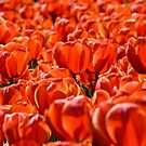 Floriade in Red by Alison Hill
