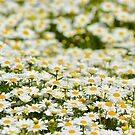Dreaming of Daisies by Alison Hill