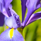 An Iris up Close by Alison Hill