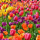 Vibrant Beauties in Full Sun by Alison Hill