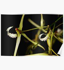 Dockrillia teretifolia Poster