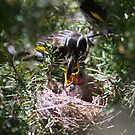 New Holland Honeyeater Feeding  2013 chicks  by Kym Bradley